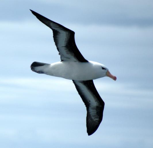 Albatros diomedeidae familyasını oluşturan kuş türlerine verilen
