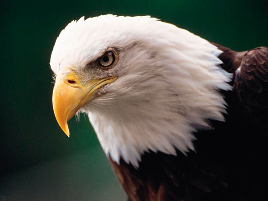 Kartal Kartal Kuşunun Türleri Ve özellikleri Kuslargentr