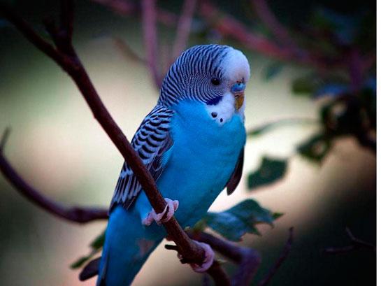 Muhabbet Kuşları Muhabbet Kuşlarının Türleri Ve özellikleri
